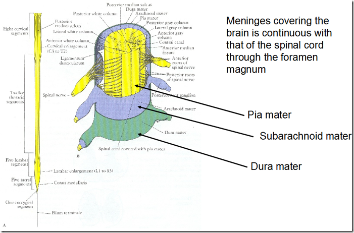 Image result for spinal cord meninges   Neuroanatomy: Spinal Cord ...