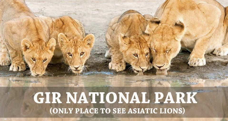 The Gir National Park of Gujarat, is the home of Asiatic
