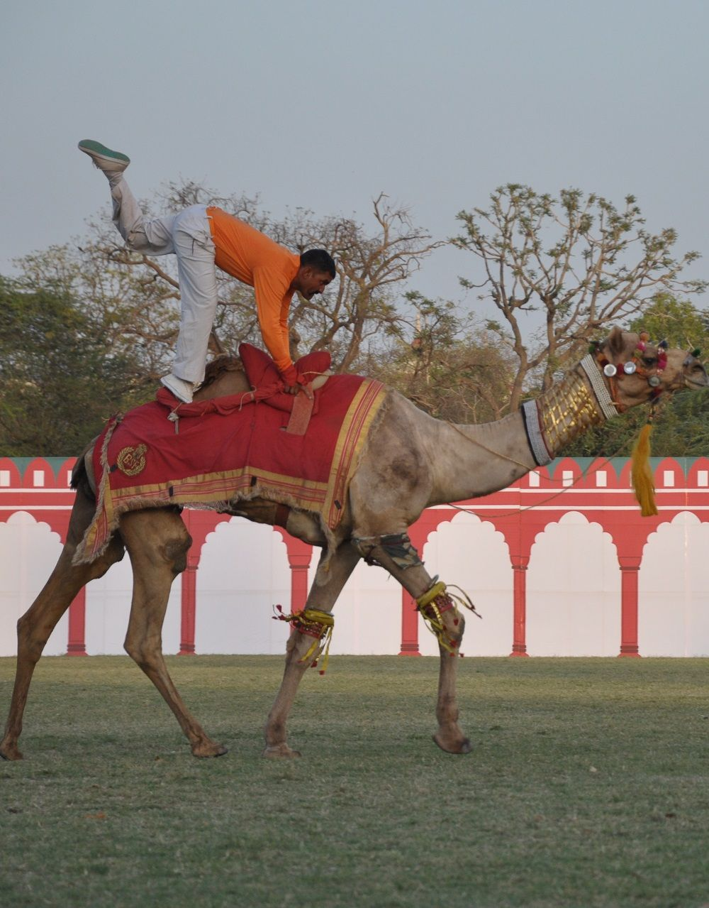 Rajasthan Diwas 2016 - A camel tattoo event organized to honor the ship of the desert and the state animal 'Camel'.