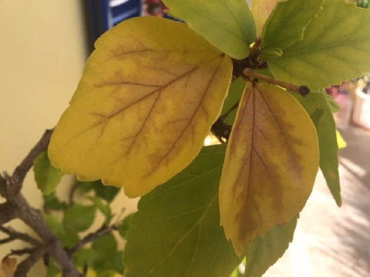 Why Are My Hibiscus Leaves Turning Yellow With Brown Patches