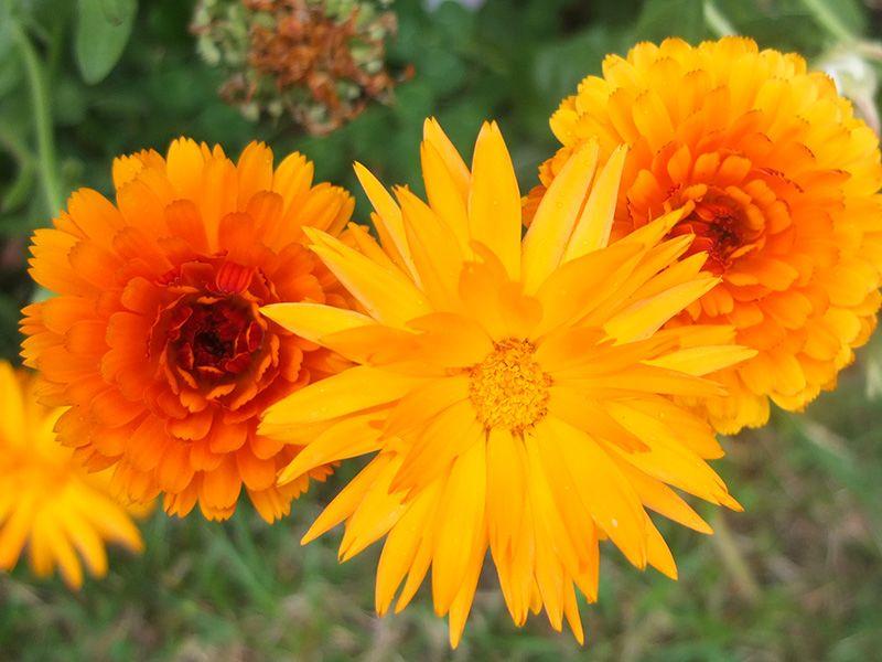 Calendulas With Images Blossom Companion Planting Plants 400 x 300