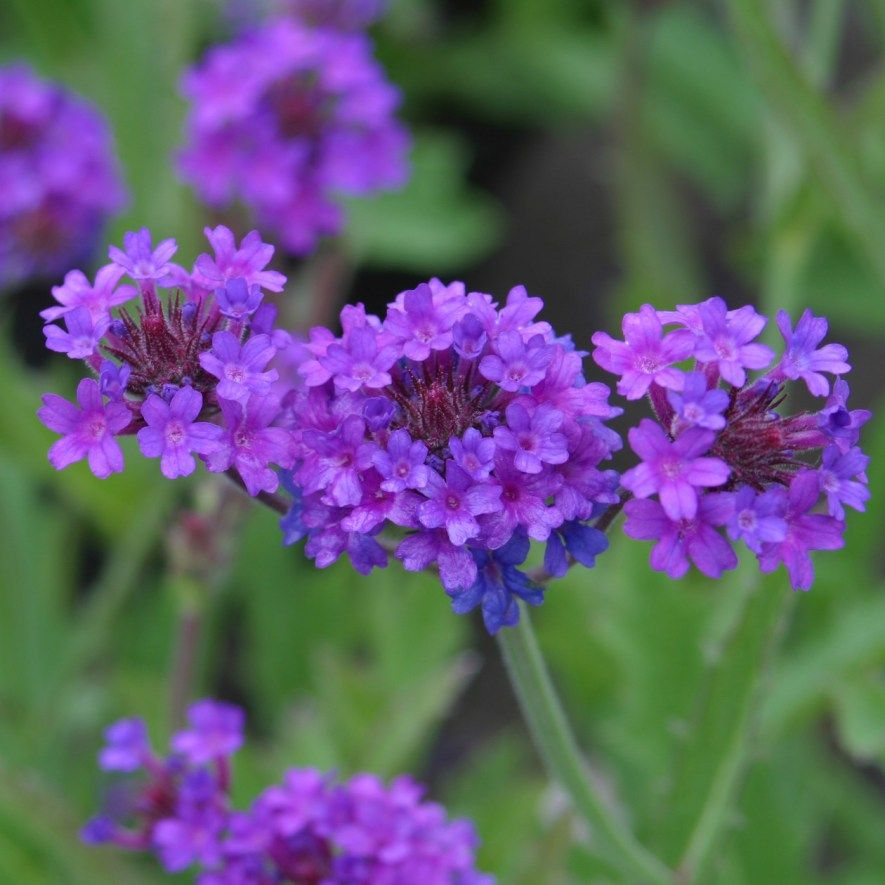 Verbena Plant Care Guide and Varieties