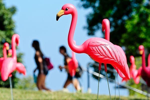 Pink Flamingos at the University of Wisconsin-Madison