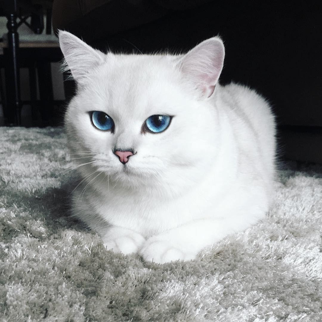 Blue Eyes Beautiful Kitty Angora Cats Cat With Blue Eyes