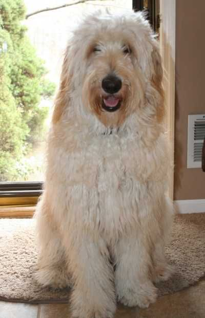 Dogs Central Usa All About Dogs And Puppies Goldendoodle