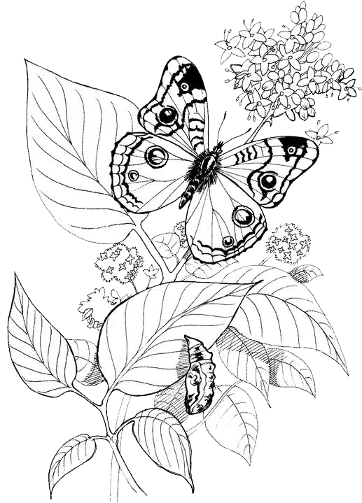 Butterfly Coloring Pages 30
