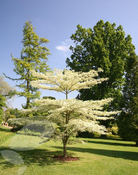 Buy Wedding Cake Tree Cornus Controversa Variegata Small Garden Trees Uk Wedding Cake Tree Small Trees For Garden