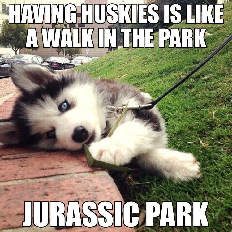 🤷🏼♂️ U READY 4 WALKIES? 🤷🏼♂️ #siberianhusky #funnypuppyhusky