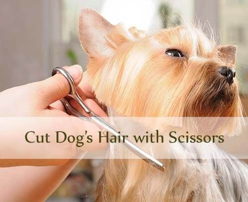 How To Cut Dog Hair With Scissors At Home Some Dogs Need To Be