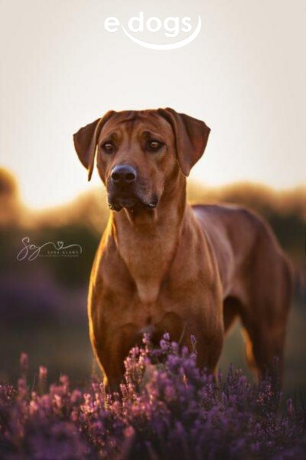 Der Unterschied Mit Bildern Hunde Rassen Hunderassen Whippet