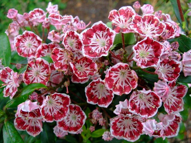 https://flic.kr/p/AbiDeK | Kalmia latifolia ''minuet'' | www.youtube.com/user/yewmchan/videos