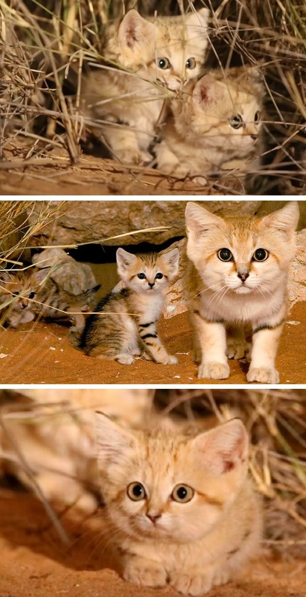 FirstEver Video of Adorable Sand Kittens Recorded In