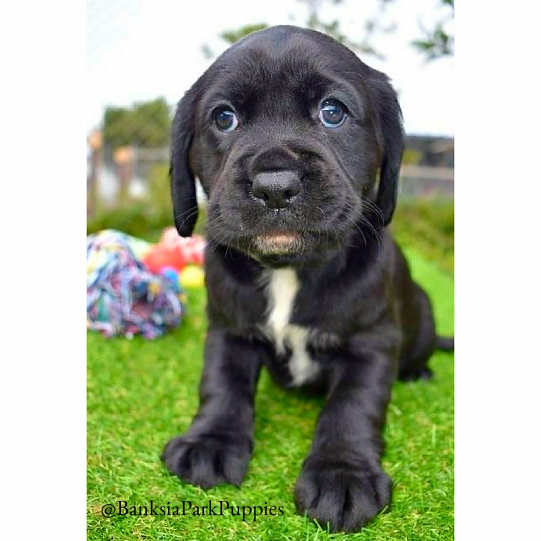 Https Www Banksiaparkpuppies Com Au Puppies Cavador Puppies Html Puppies Puppies For Sale Dogs For Sale