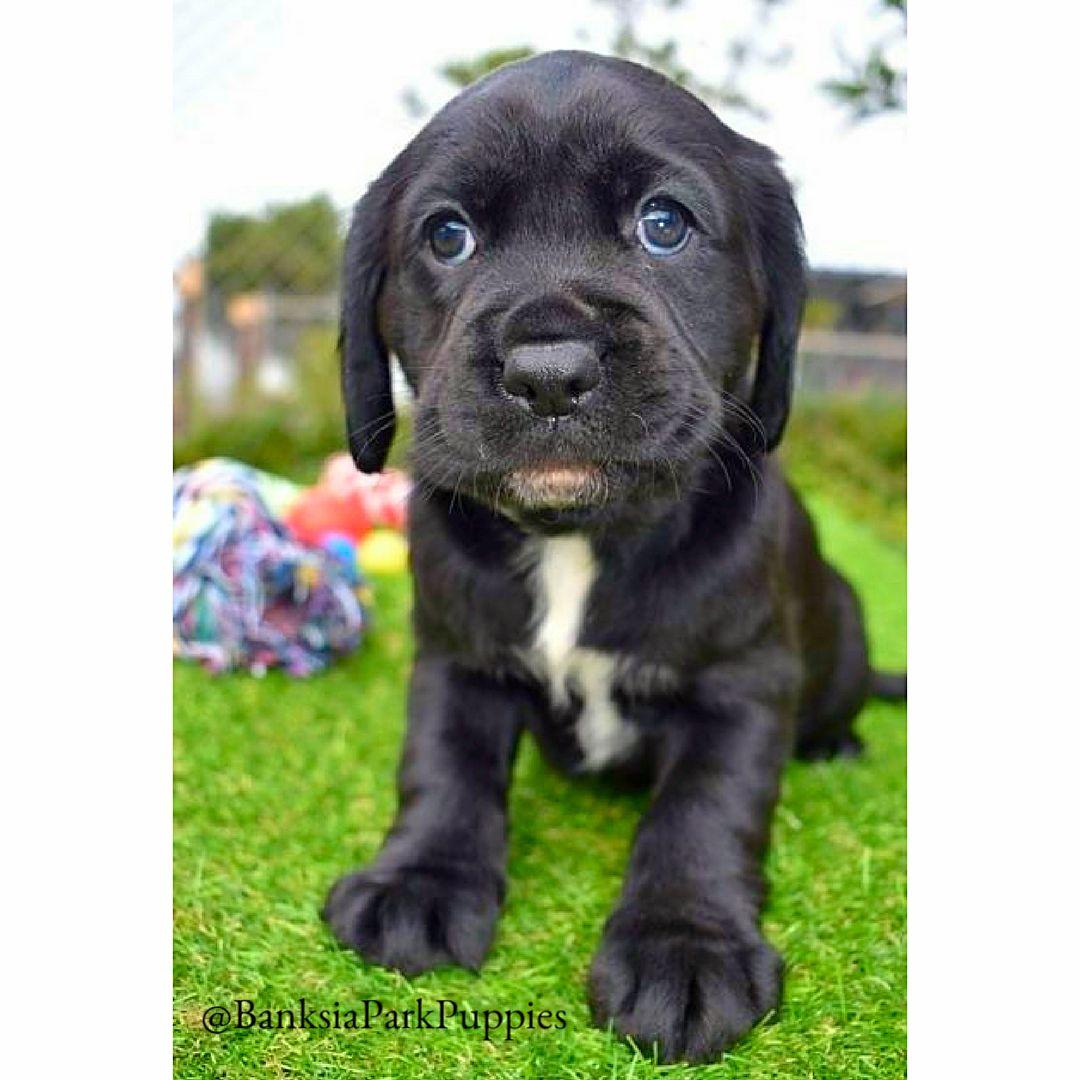 Https Www Banksiaparkpuppies Com Au Puppies Cavador
