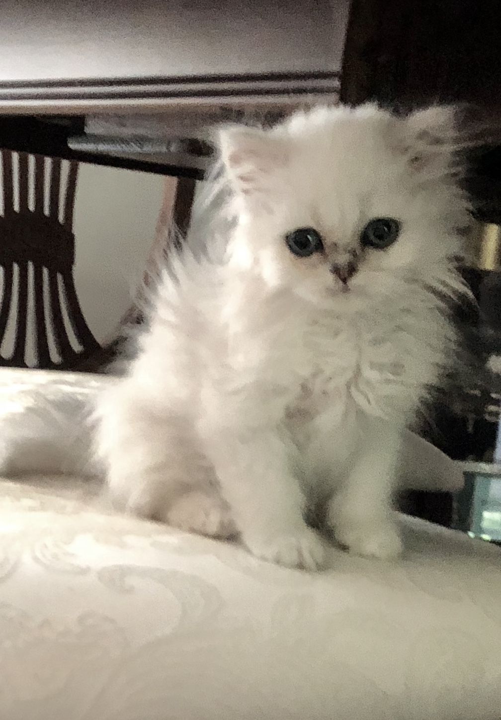 Barney Is Such A Tiny Little Guy His Adult Weight Should Be Around 5 Pounds He Has Big Green Eyes And A Lit Persian Cat Persian Cats For Sale Cats For Sale