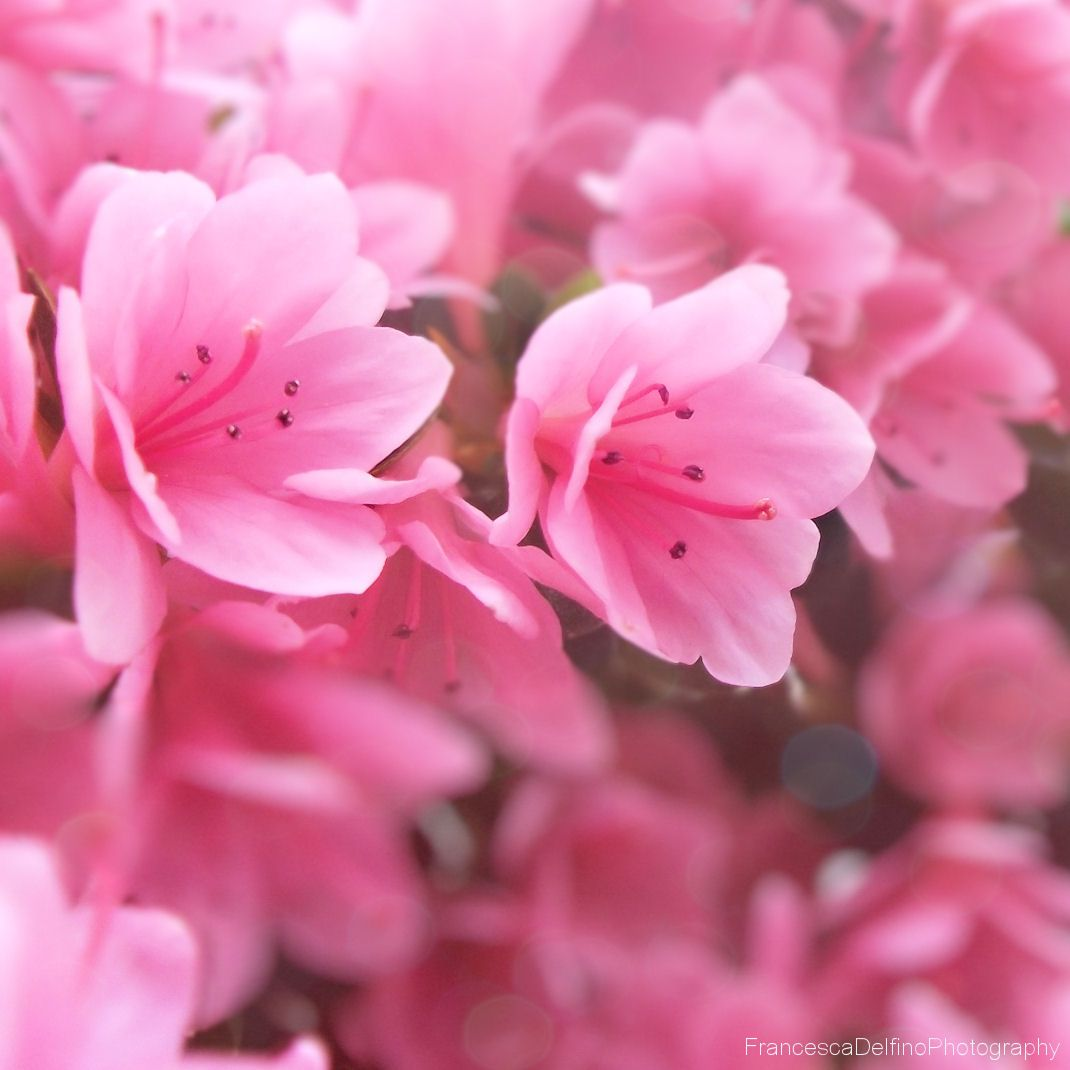 Little pink flowers i by francescadelfinoiantart on little pink flowers i by francescadelfinoiantart on deviantart mightylinksfo