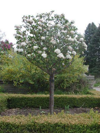 Fragrant Viburnum Tree Form Garden Garden Trees
