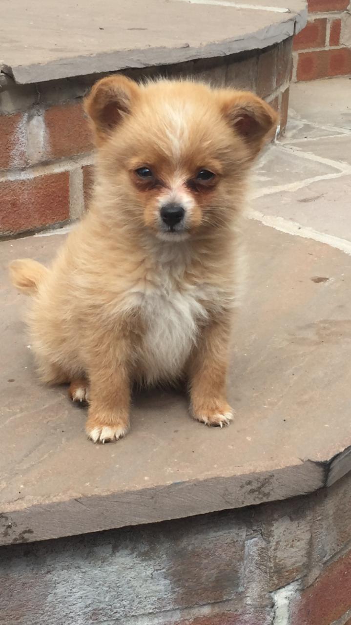 99+ Maltese X Pomeranian in 2020 Pomeranian dog