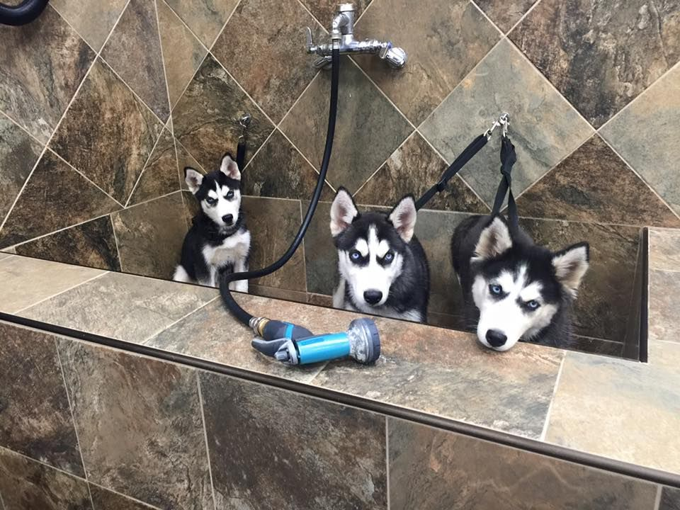 Bath Time Pups Really Cute Dogs Siberian Dog Most Beautiful Dogs