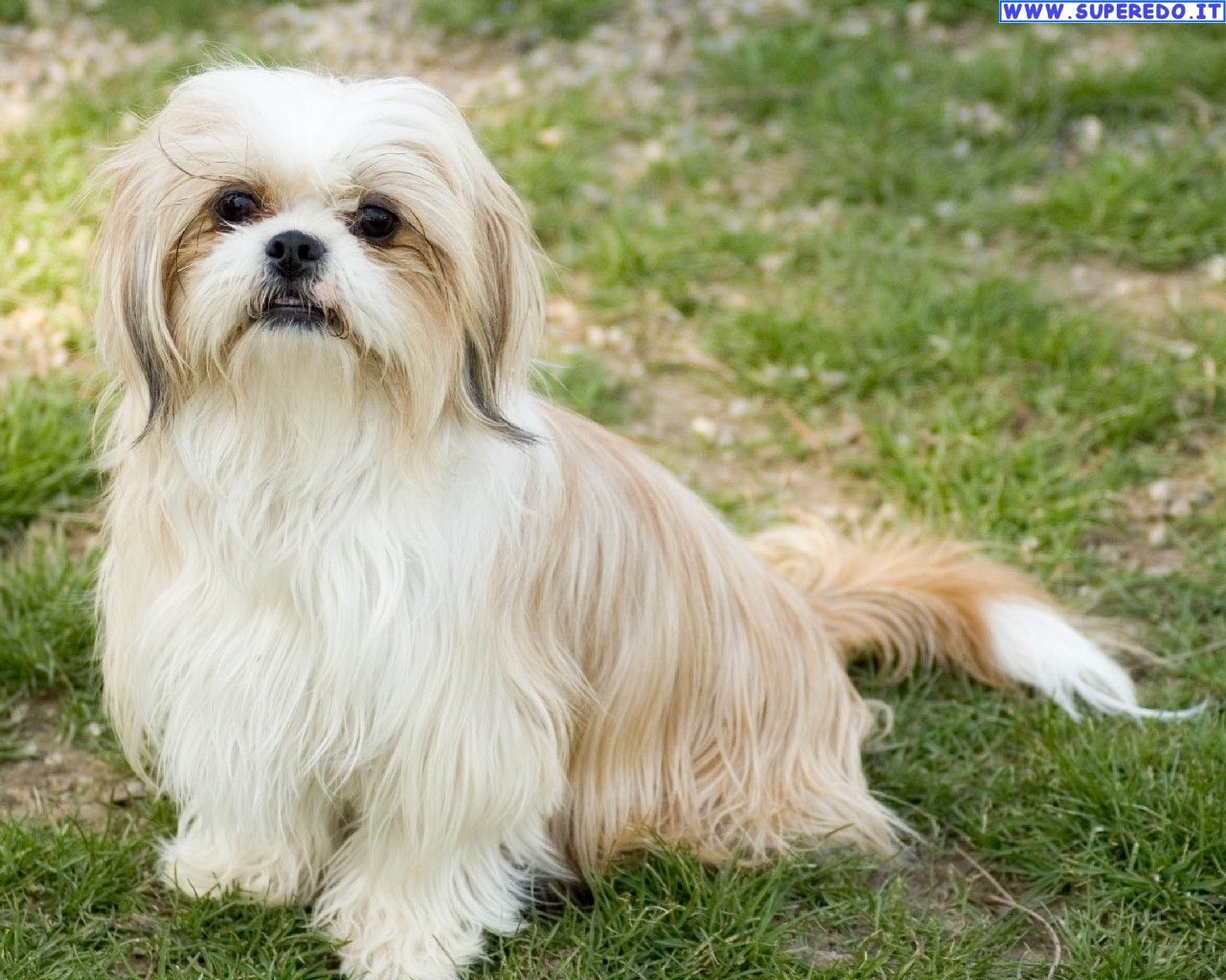 A compact and solid dog, the Shih Tzu's long, flowing