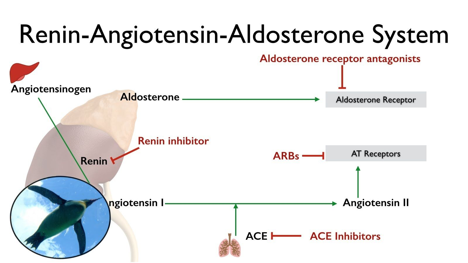Concept Map Renin Angiotensin Aldosterone Mechanism.Renin Angiotensin Aldosterone System The Raas A P Videos