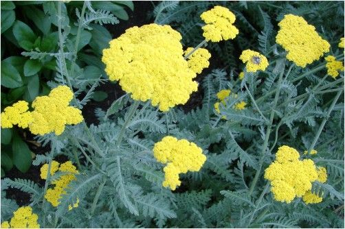 Yellow Yarrow  Yarrow comes in many colors now. Easy to start from seed. Get a mixed colored package, be a little patient and you will have a great new tool to paint your garden with lovely hardy hardworking plants