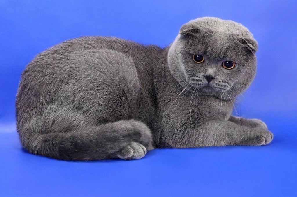 вислоухий шотландский кот фотографии ведь домашние