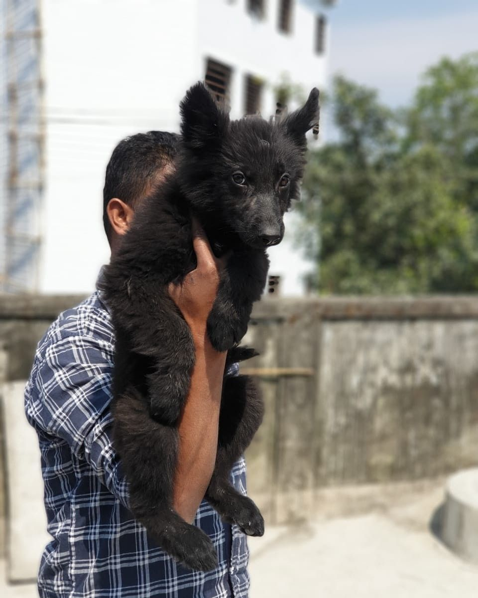 Awesome 2.5 months old Jet Black German Shepherd Puppy for