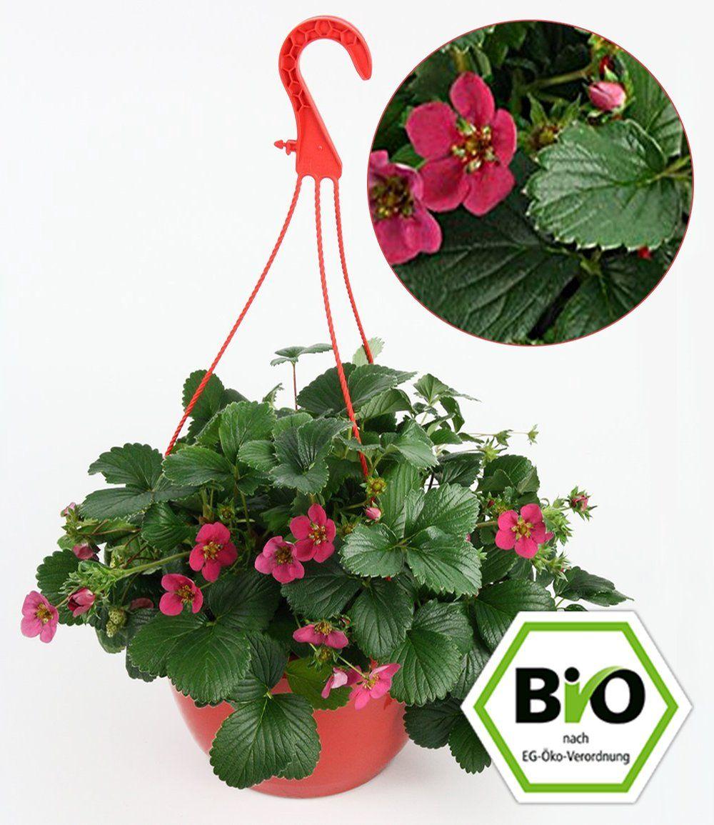 Erdbeer Ampel 1a Pflanzen Online Kaufen Baldur Garten Pflanzen Erdbeerpflanzen Grune Fruchte