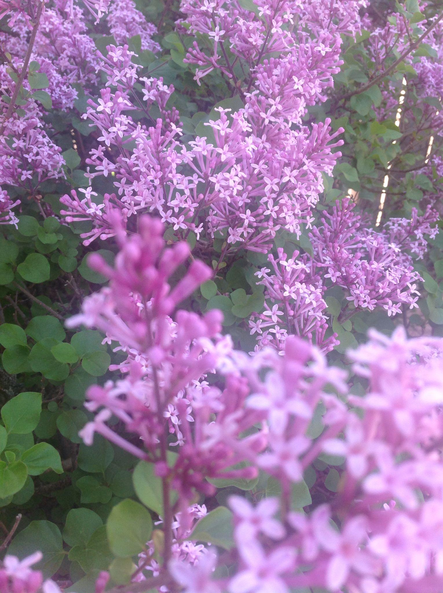 This beauty is a Dwarf Korean Lilac bush. Stunningly ...