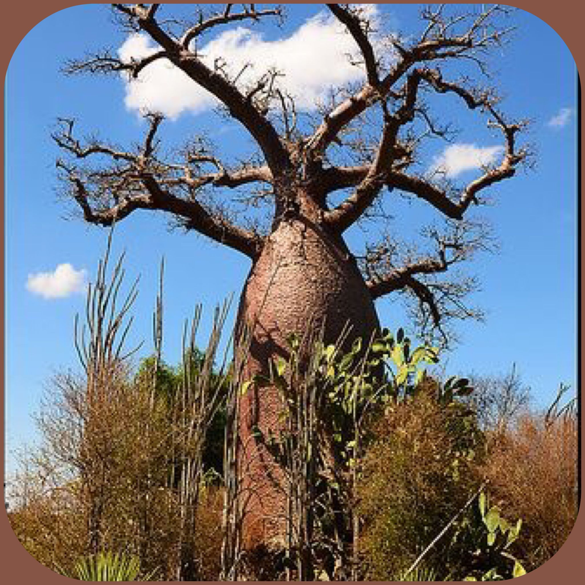 Baobab Tree - Africa , Madagascar , Australia  More At FOSTERGINGER @ Pinterest
