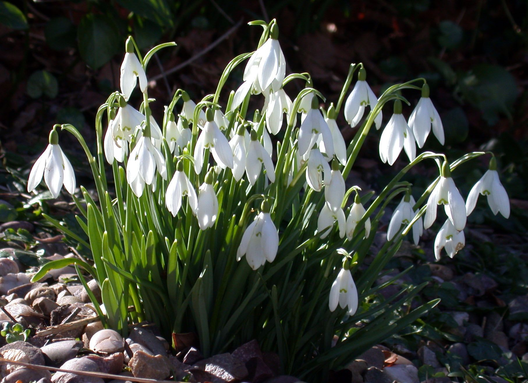 Snowdrops The Promise Of Spring Spring Flowering Bulbs Early Spring Flowers Bulb Flowers