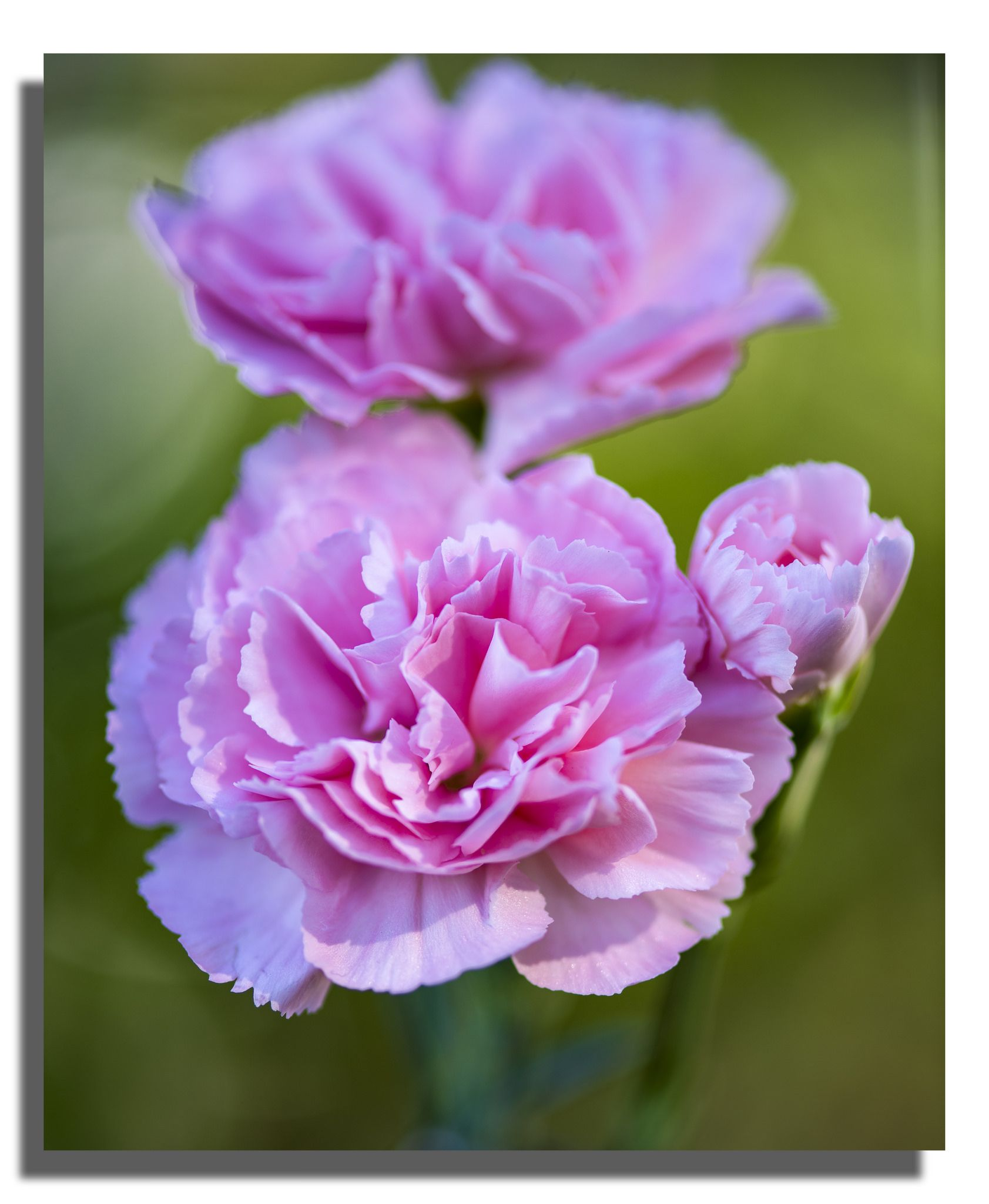 Pink Carnation Pink Carnations Carnations Pink