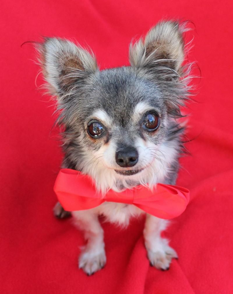 Adopt Tiny Quincy On Chihuahua Dogs Adoption Chihuahua