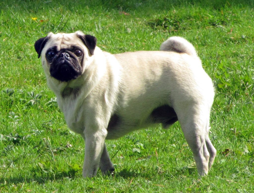 Pug Dog Breeds Pug Breed Miniature Dog Breeds