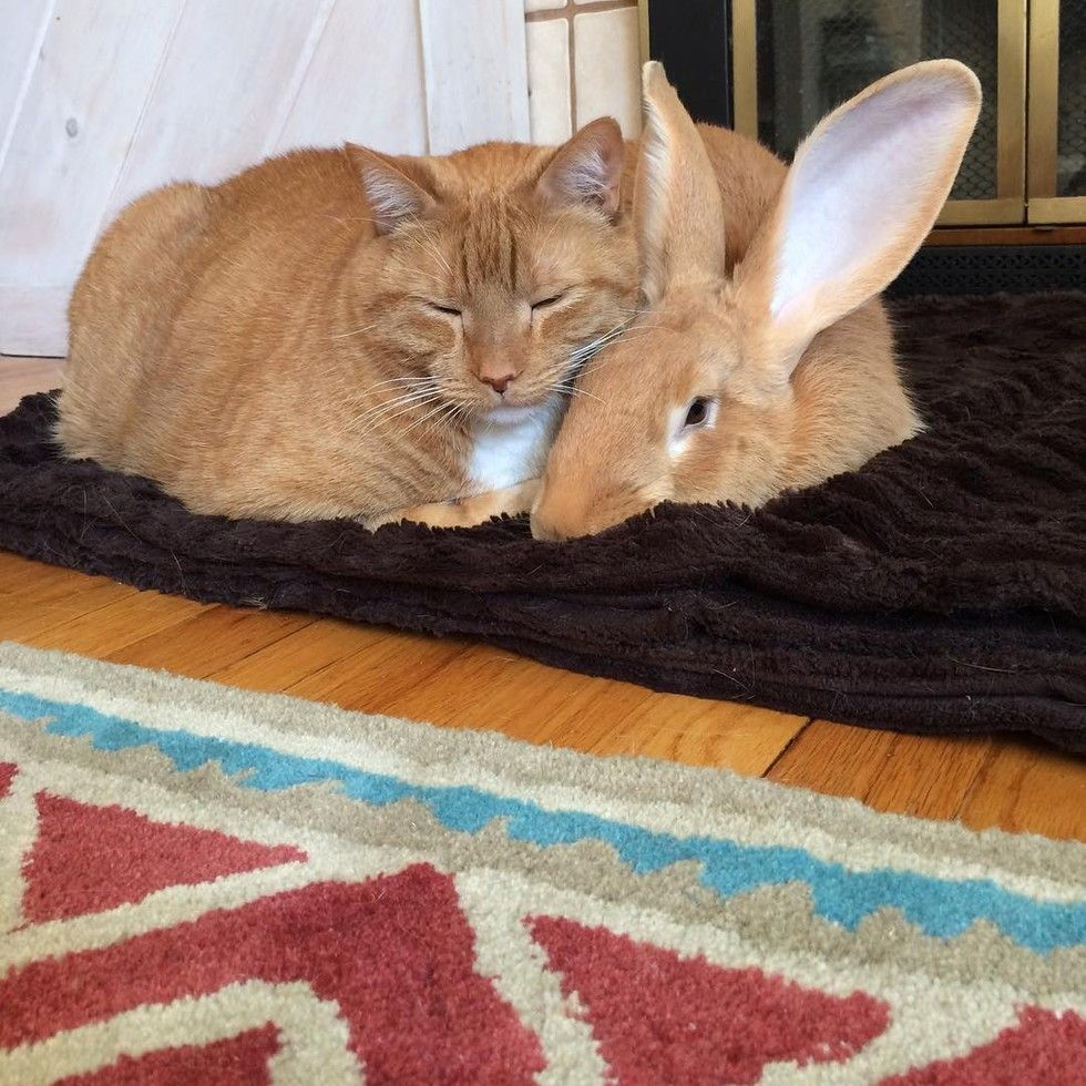 Ginger Cat And His Giant Rabbit Twin Brother Truly Special Bond Love Meow In 2020 Giant Rabbit Beautiful Kittens Flemish Giant