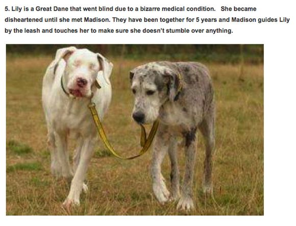 Great Dane Leads Blind Friend On Leash For 5 Years