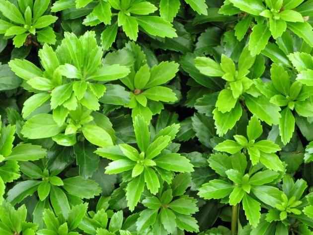 Die besten immergrünen Bodendecker Bodendecker, Immergrün und - gartenstraucher immergrun winterhart