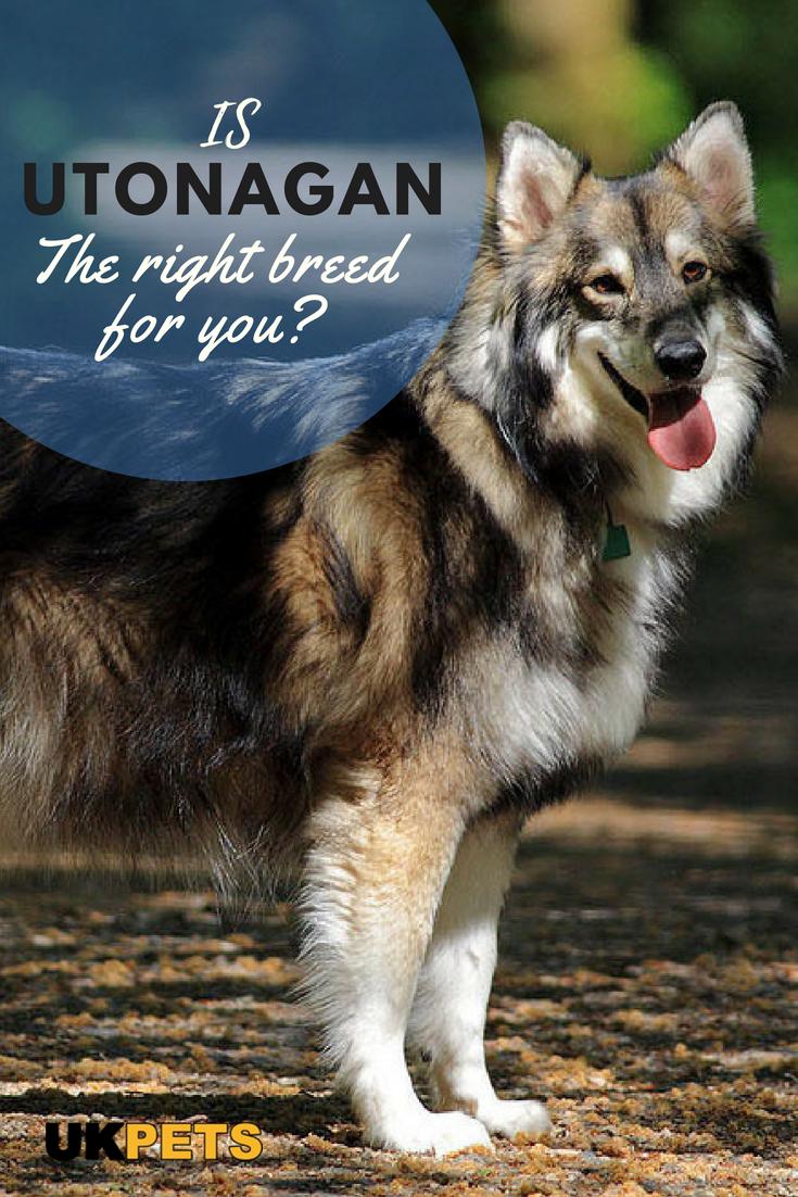 Utonagan Utonagan Dog Dog Breeds Dog Breeds Medium