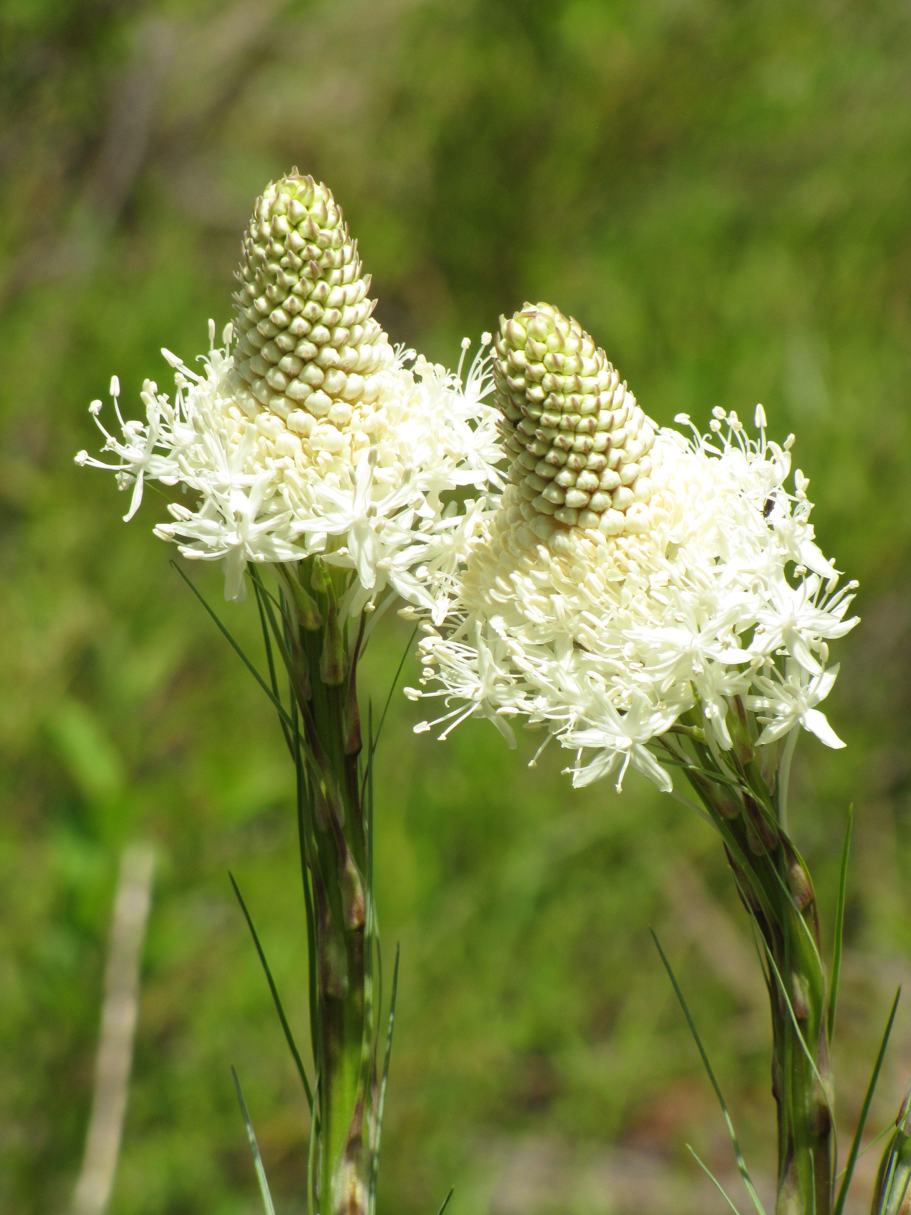 bear grass beauty pinterest grasses flowers and