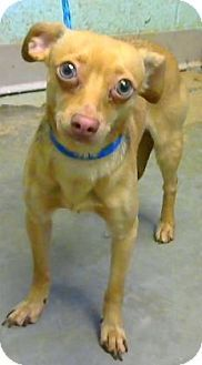 Pictures of Xerxes a Dachshund/Chihuahua Mix for adoption in Decatur, GA who needs a loving home.