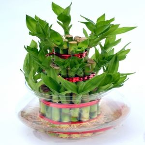 Shop for Indoor plantslucky bamboo plants online at best price