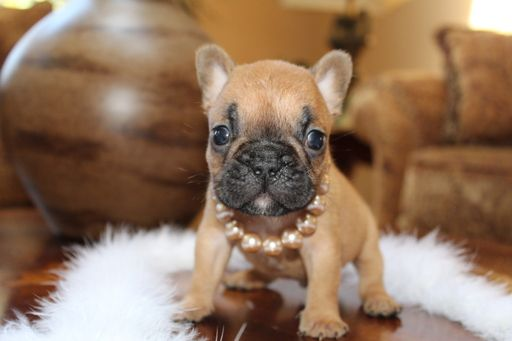 French Bulldog Puppy For Sale In Clackamas Or Adn 35962 On Puppyfinder Com Gender Male Age 5 Weeks Old Bulldog Puppies French Bulldog Puppy French Bulldog