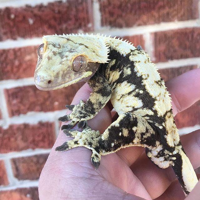 Pin de Daisy en Geckos & such | Pinterest | Anfibios, Reptiles y Ranas