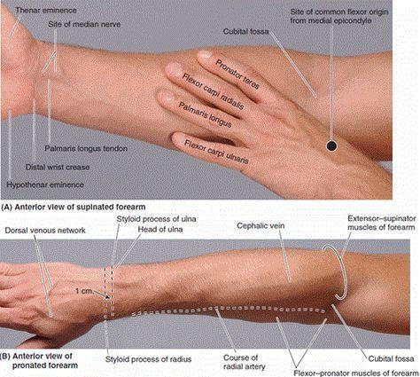 Surface Anatomy Of Anterior Forearmf 520467 Anatomy
