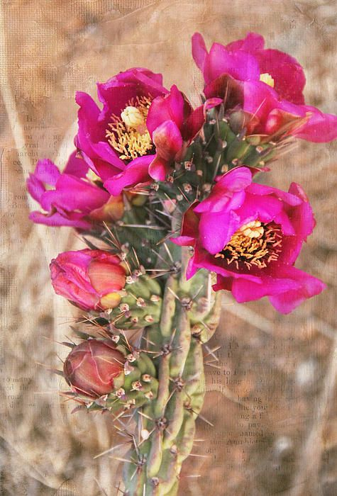 Title  Blooming Cactus Canvas  Artist  Jemmy Archer  Medium  Photograph - Photograph