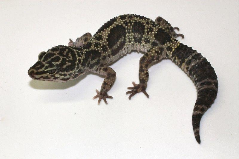 Melanistic Leopard Gecko Leopard Gecko Reptiles Pet Leopard