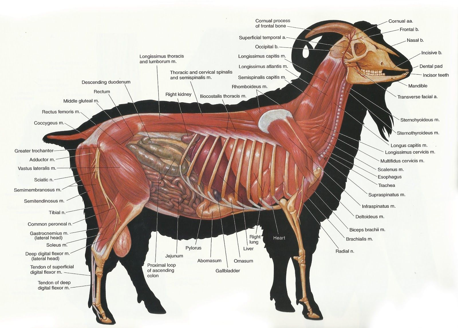 Archer\'s Acres: Anatomy : Capra hircus | Anatomy. Mammal | Pinterest ...