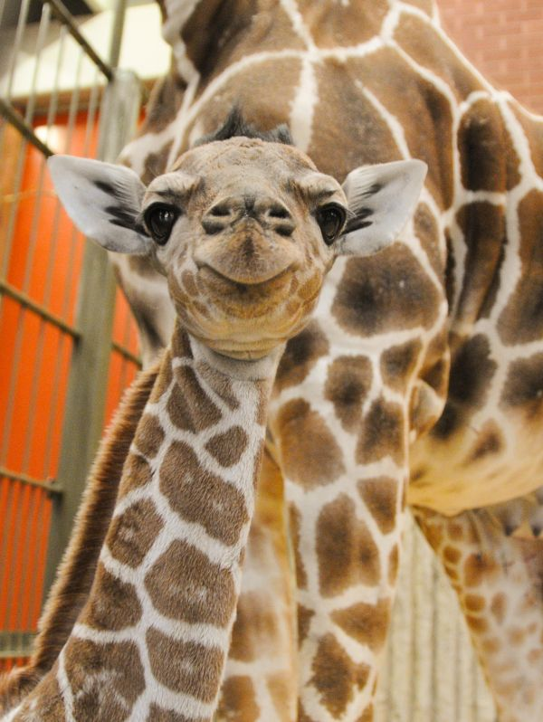 When This Newborn Giraffe At Denver Zoo Needed A Plasma Transfusion Staff At Cheyenne Mountain Zoo Came To The Rescue Read Baby Giraffe Zoo Giraffe Giraffe