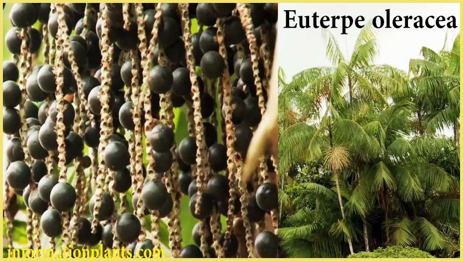 فاكهة نخلة الاساي Euterpe Oleracea قسم الفواكه النبات معلومان عامه معلوماتية Grapes Fruit Euterpe Oleracea